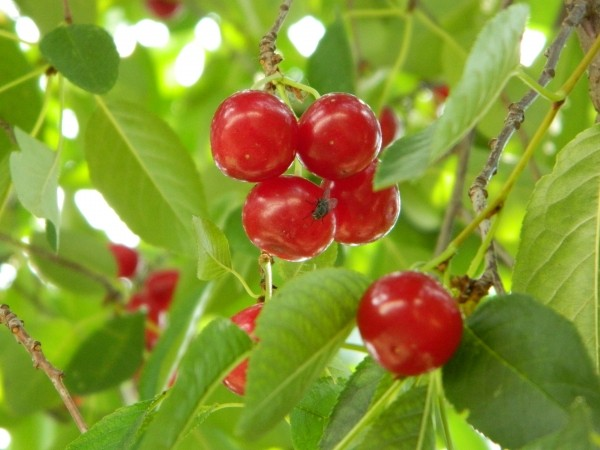 cherry-green-branch-tree-garden-orchad