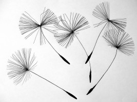 seeds-dandelion-flower-pointed-flower-nature