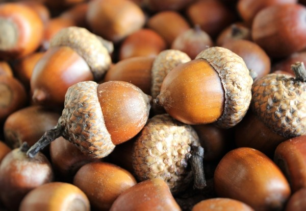 acorns-seeds-oak-brown-harvest-autumn-walnut-hat