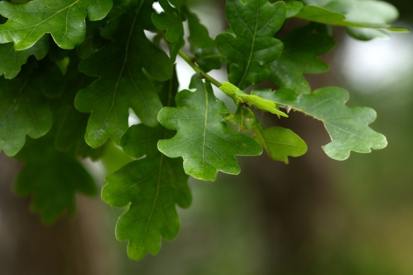 oak-leaves-autumn-bokeh-green-tree-oak-leaves